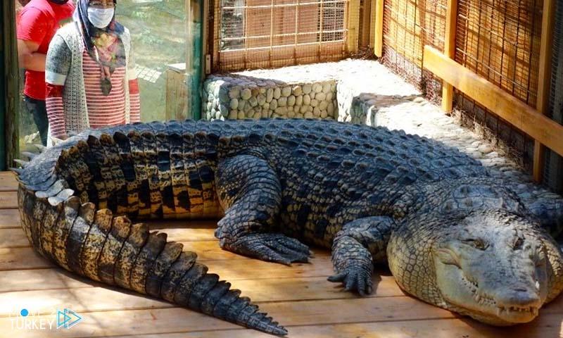 largest crocodile in turkey in Antalya zoo